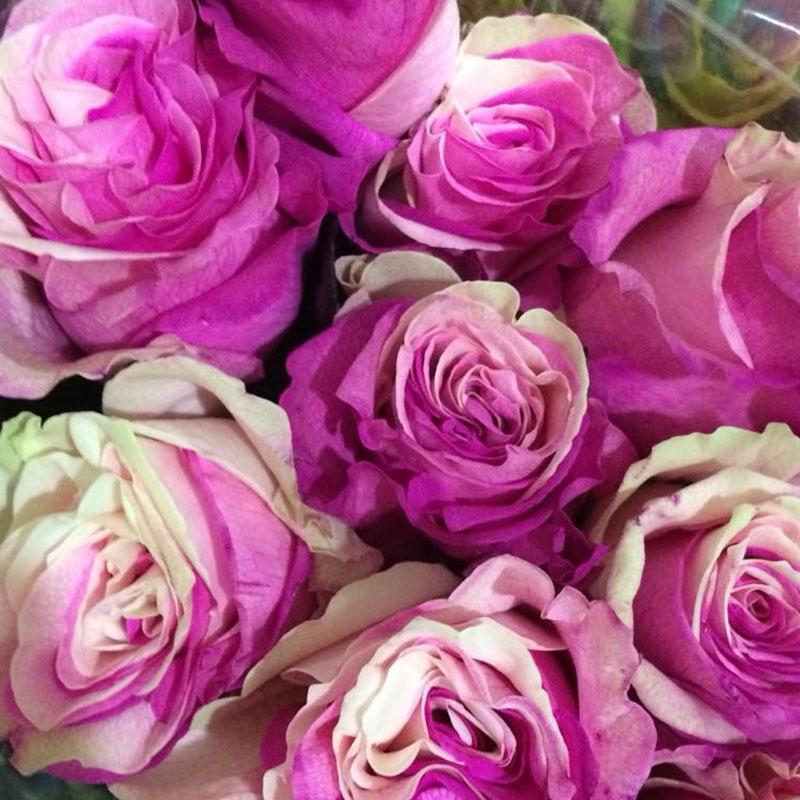 Роза Magic Pink